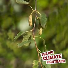 Silver Birch for the Big Climate Fightback