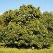 Sweet Chestnut Trees  (Castanea sativa)