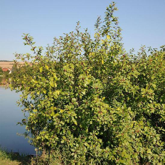 Alder Buckthorn Trees (Frangula alnus)