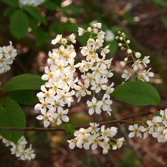 Bird Cherry (Prunus padus) - blossom