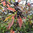 Bird Cherry (Prunus padus) - berries